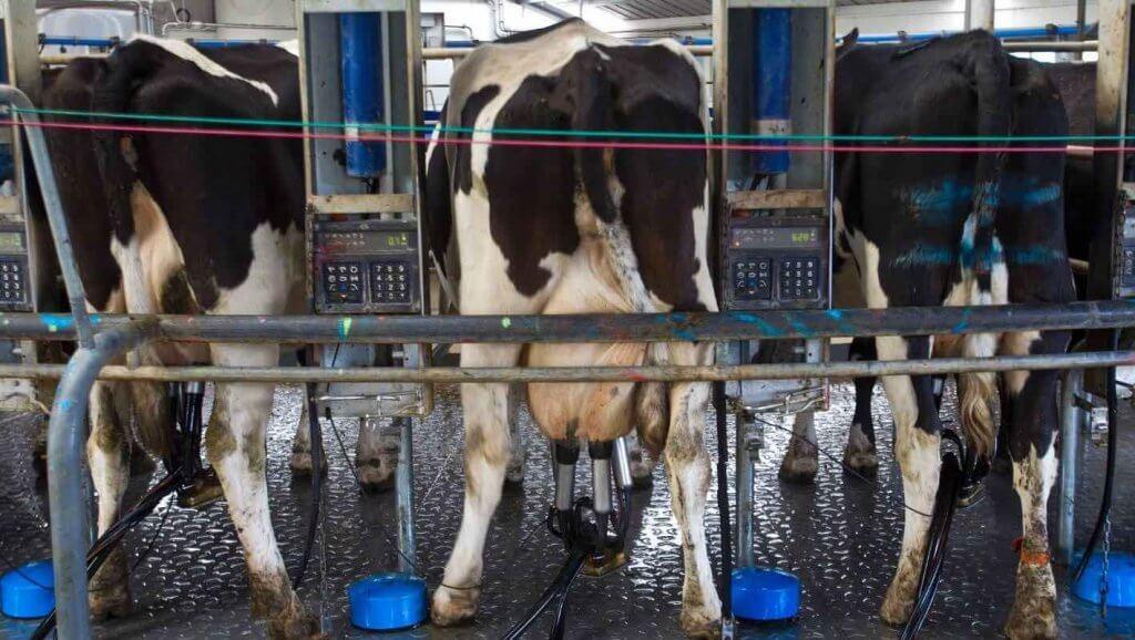 Chov kráv pre mlieko