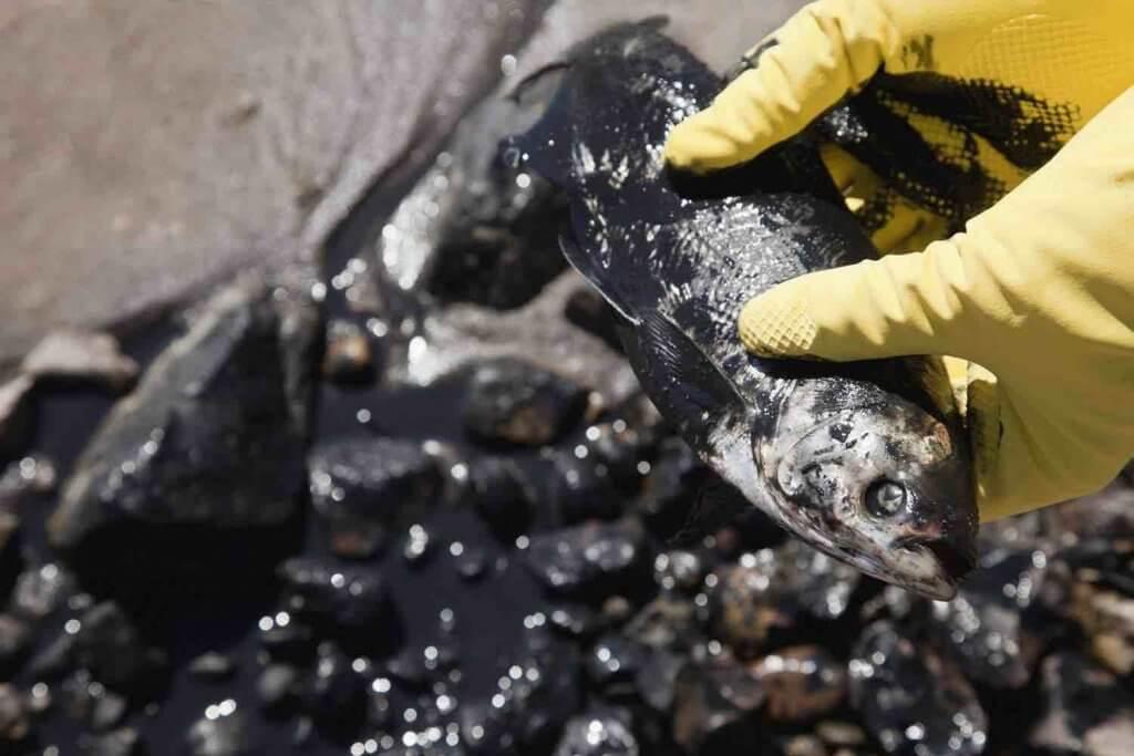 Ryby hynú v olejovej škvrne