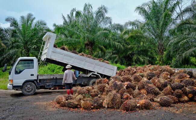 plantáže palmy olejnej